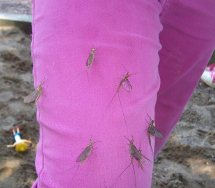 Mayflies on pants by Vicki