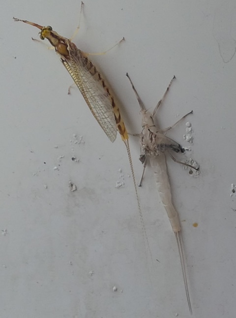 Mayfly and its skin right after shedding