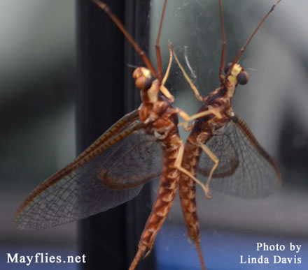 Mayfly on rear view mirror